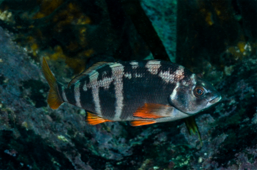 Cheilidactylus variegatus. Photo by Graham Edgar.
