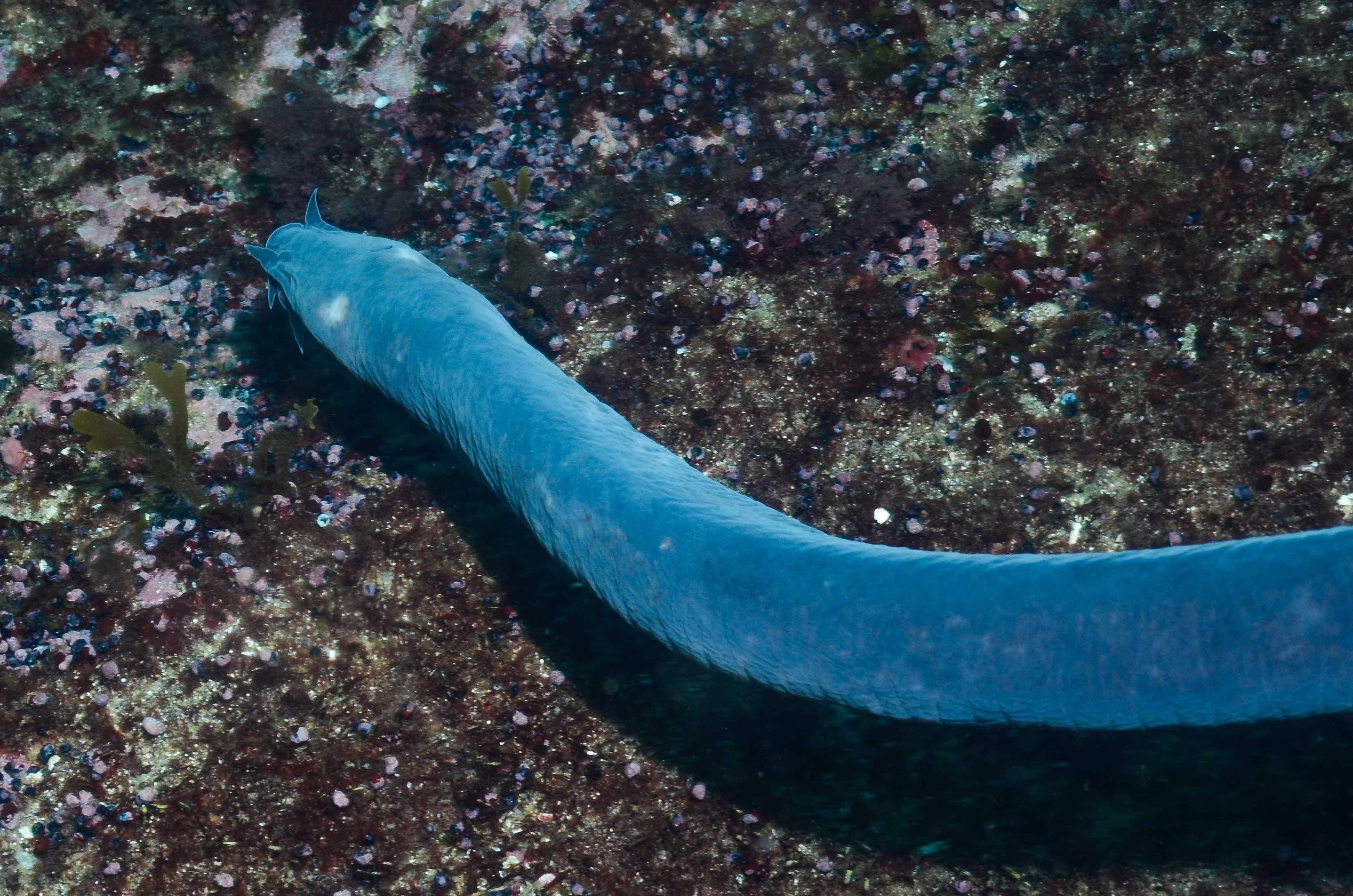 Eptatretus polytrema. Photo by Graham Edgar.