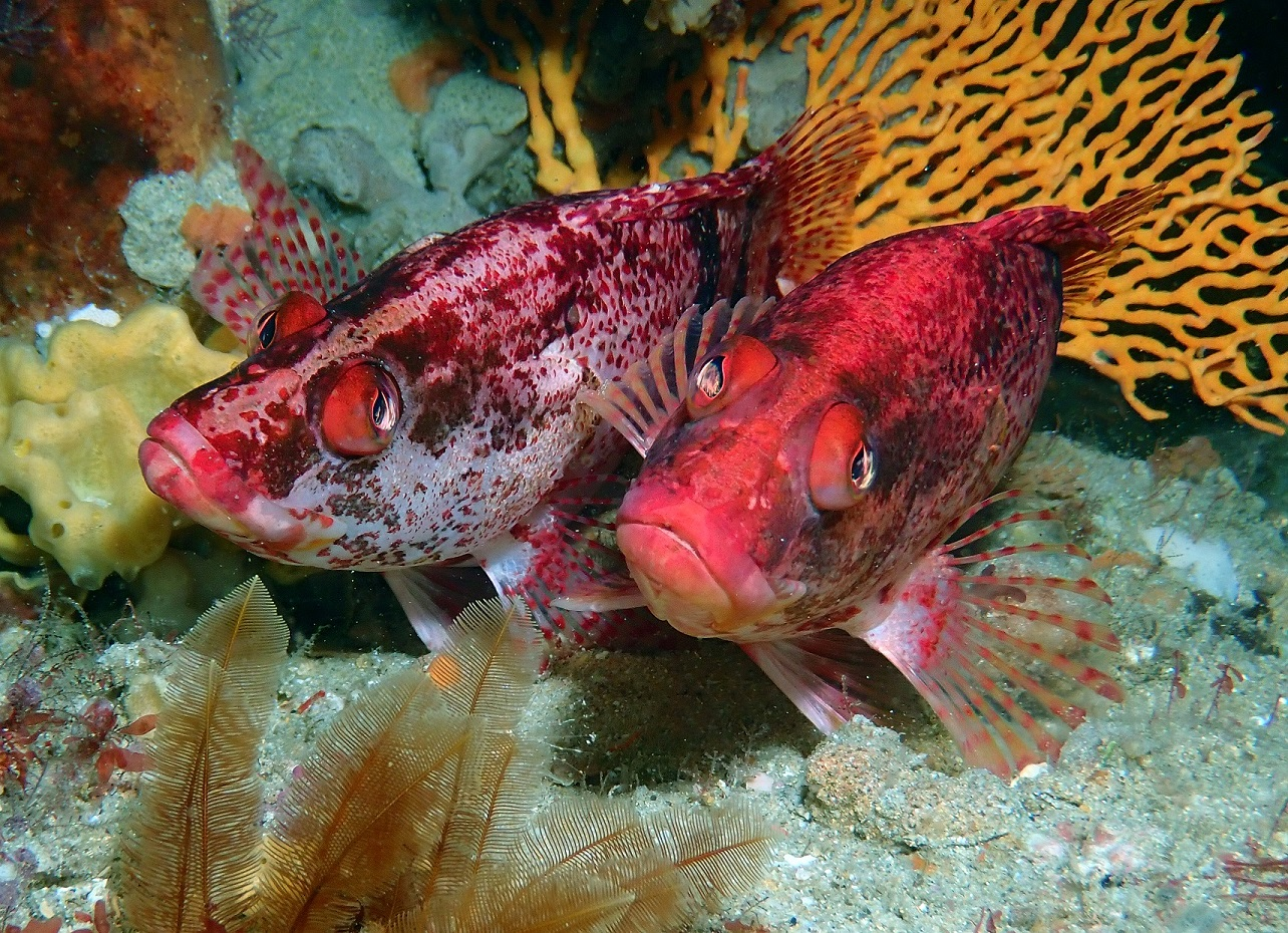 Banded Seaperch, Hypoplectrodes nigroruber. Photo by Antonia Cooper.
