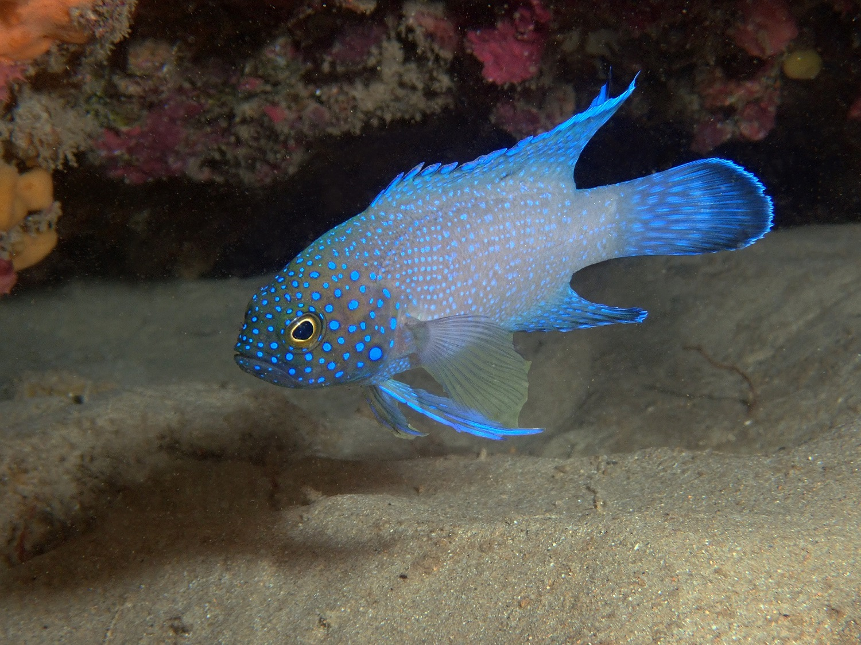Western Blue Devil, Paraplesiops meleagris. Photo by Antonia Cooper.