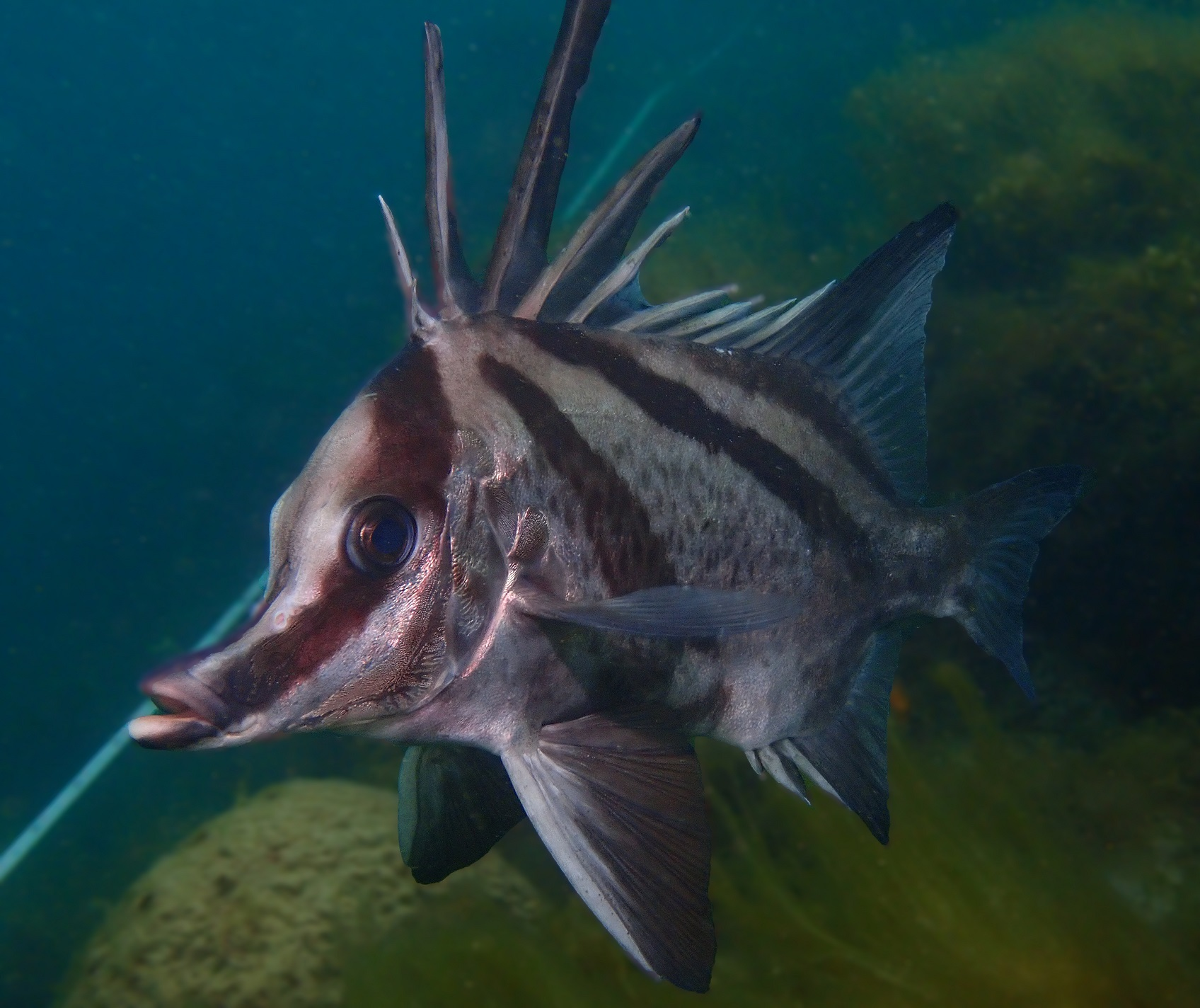 Long-snouted Boarfish, Pentaceropsis recurvirostris. Photo by Antonia Cooper.