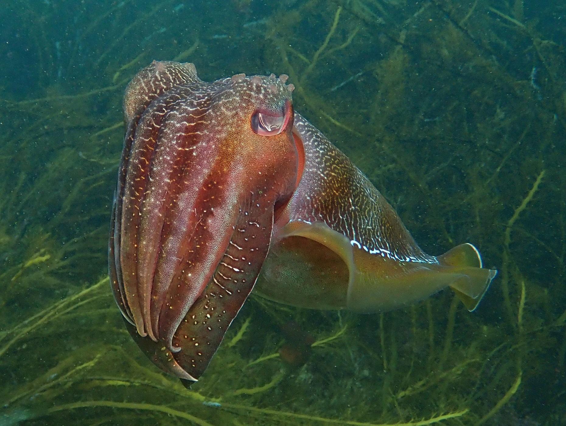 Giant Cuttlefish, Sepia apama. Photo by Antonia Cooper.