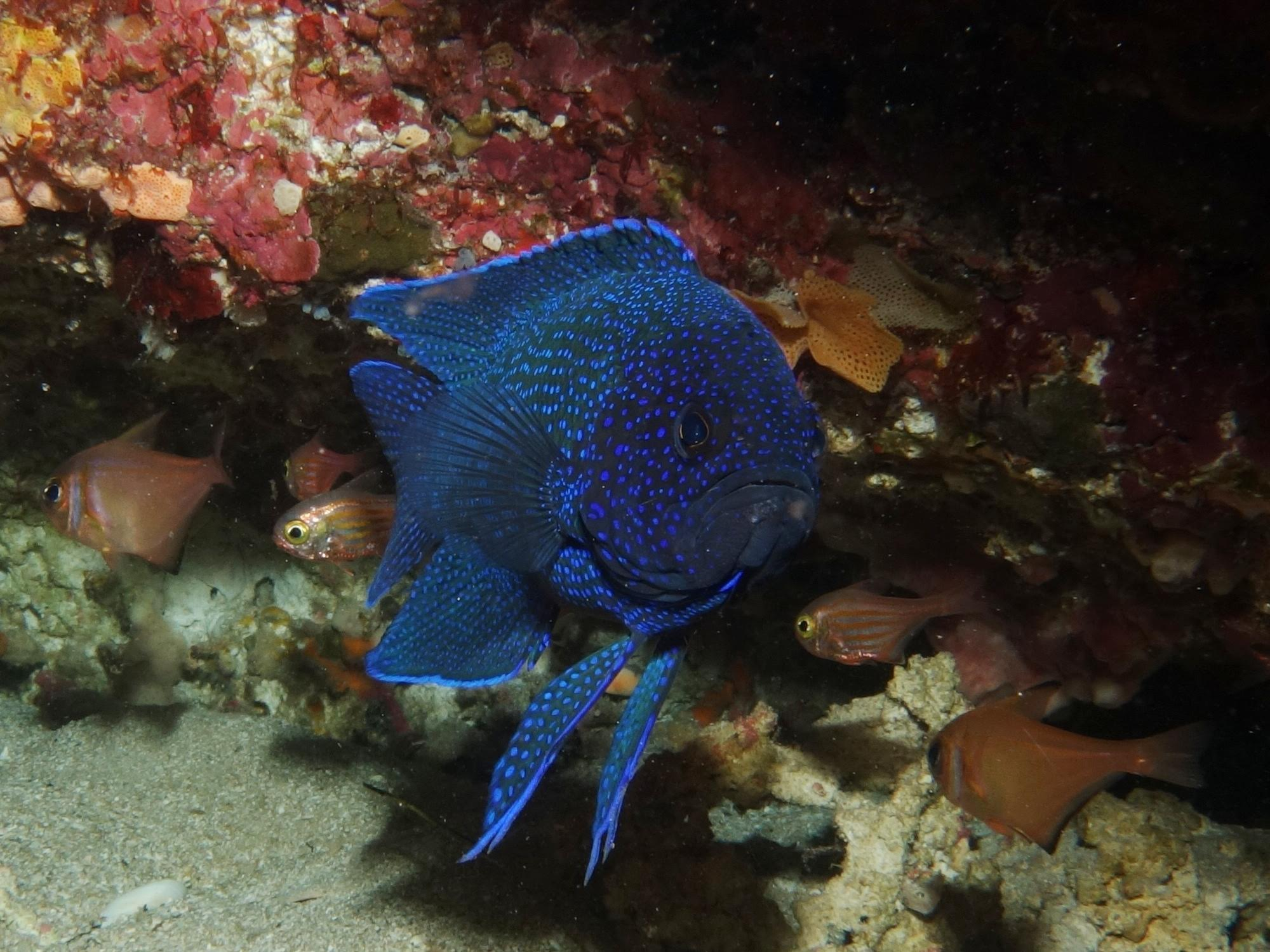 Paraplesiops meleagris, Devils Lair. Photo by Kevin Smith