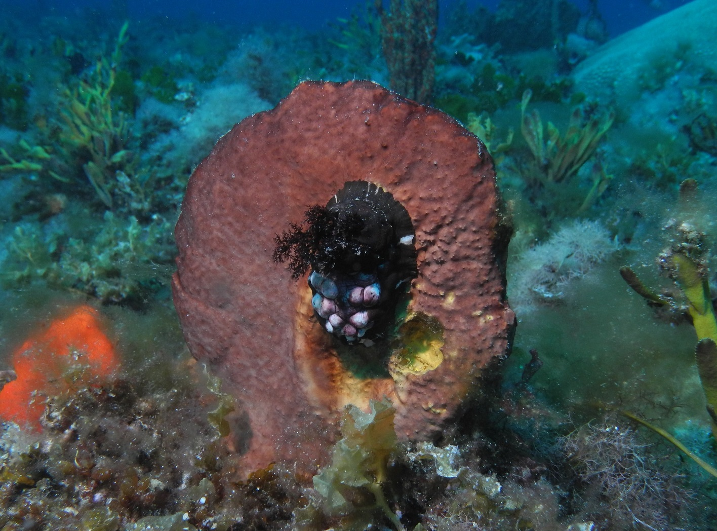 Ceto cuvieria at Coral Gardens 2. Photo by Paul Day