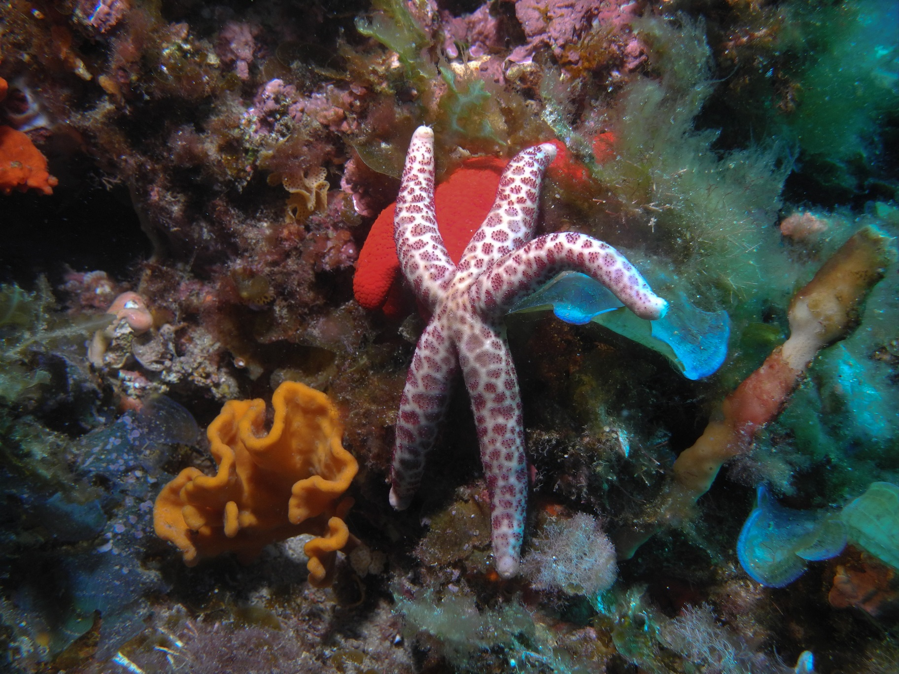 Echinaster arcystatus Squiggly Reef. Photo by Paul Day