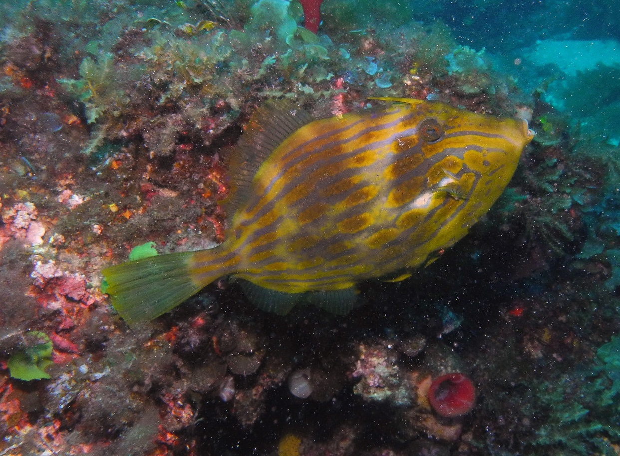 Eubalichthys mosaicus at Devils Lair. Photo by Paul day