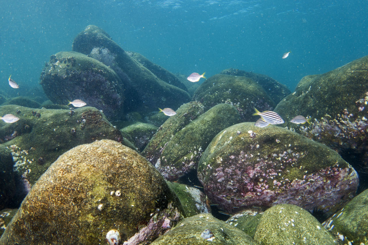 Urchin barrens in Sydney Harbour