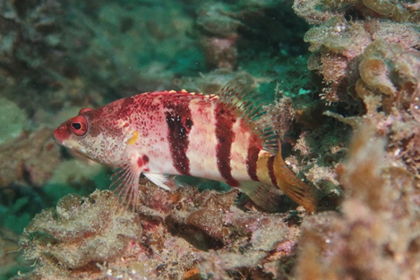 Banded Sea Perch, Hypoplectrodes nigroruber. Photo by Jamie Hicks