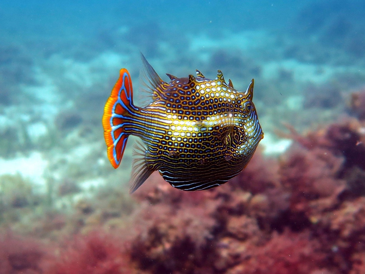 Ornate Cowfish, Aracana aurita . Photo by Danny Brock