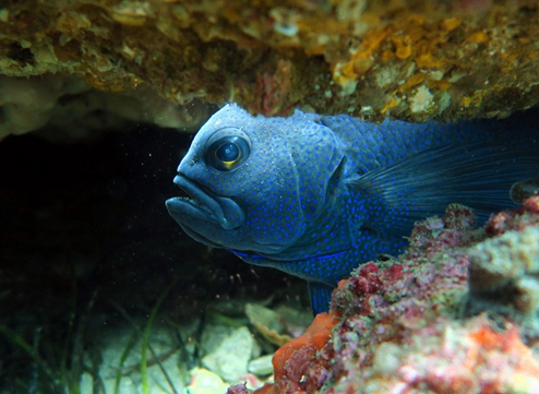 Western Blue Devil, Paraplesiops meleagris . Photo by Danny Brock